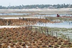Raccolta dell'alga coltivata nelle acque basse dell'isola di Zanzibar Immagine Stock