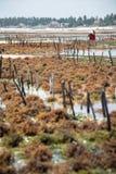 Raccolta dell'alga coltivata nelle acque basse dell'isola di Zanzibar Fotografia Stock Libera da Diritti