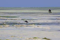 Raccolta dell'alga, spiaggia di Uroa, Zanzibar, Tanzania Fotografia Stock Libera da Diritti