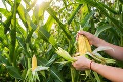 Raccolta dell'alimento del cereale Fotografia Stock