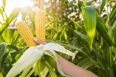 Raccolta dell'alimento del cereale Immagine Stock Libera da Diritti
