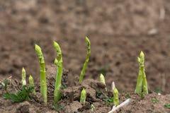 Raccolta dell'asparago fotografie stock