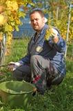 Raccolta dell'uva Fotografia Stock