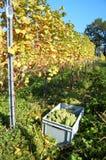 Raccolta dell'uva Fotografie Stock Libere da Diritti
