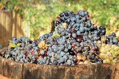 Raccolta dell'uva immagine stock