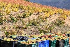 Raccolta dell'uva bianca nel sud della Spagna Immagini Stock Libere da Diritti