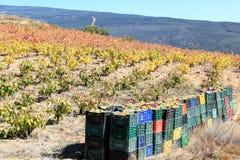 Raccolta dell'uva bianca nel sud della Spagna Fotografia Stock Libera da Diritti