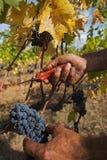 Raccolta dell'uva a disposizione Immagini Stock Libere da Diritti