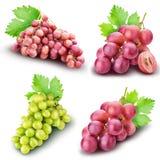 Raccolta dell'uva isolata su fondo bianco Immagine Stock