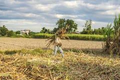 Raccolta della canna da zucchero, provincia di Tay Ninh, Vietnam Fotografie Stock