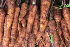 Raccolta della carota Immagine Stock Libera da Diritti