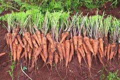 Raccolta della carota Fotografie Stock