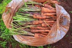 Raccolta della carota Immagini Stock