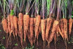 Raccolta della carota Fotografie Stock Libere da Diritti