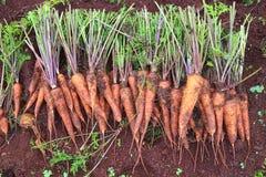 Raccolta della carota Fotografia Stock Libera da Diritti