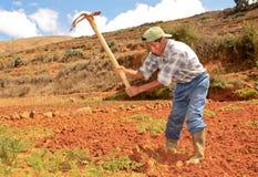 Raccolta della carota. Il Perù Immagine Stock