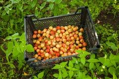 Raccolta della ciliegia gialla Fotografie Stock Libere da Diritti
