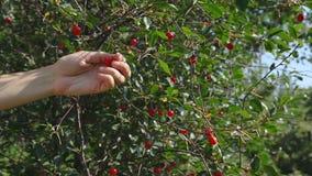 Raccolta della ciliegia nel giardino di estate archivi video