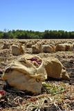 Raccolta della cipolla Fotografie Stock