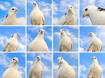 Raccolta della colomba Fotografie Stock Libere da Diritti