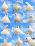Raccolta della colomba Fotografia Stock