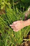 Raccolta della erba cipollina fresca Immagini Stock