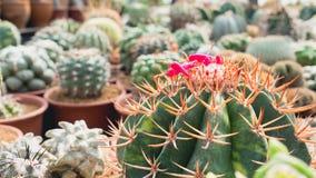 Raccolta della famiglia di cactus Immagine Stock