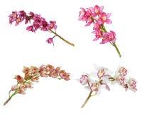 Raccolta della fine dell'orchidea del fiore del cymbidium su Fotografia Stock Libera da Diritti
