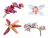 Raccolta della fine dell'orchidea del fiore del cymbidium su Fotografia Stock