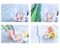 Raccolta della fine dell'orchidea del fiore del cymbidium su Fotografie Stock Libere da Diritti