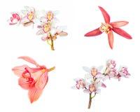 Raccolta della fine dell'orchidea del fiore del cymbidium su isolata su bianco Immagine Stock