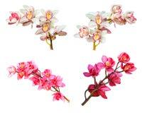Raccolta della fine dell'orchidea del fiore del cymbidium su isolata su bianco Fotografia Stock Libera da Diritti