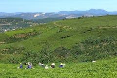 Raccolta della foglia di tè all'azienda agricola del tè di Cau Dat Fotografie Stock Libere da Diritti