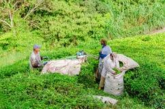 Raccolta della foglia di tè in Cameron Highlands Immagini Stock