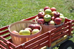 Raccolta della frutta Fotografia Stock