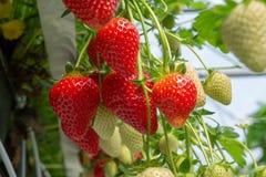Raccolta della frutta rossa grande matura fresca della fragola nel verde olandese Immagine Stock Libera da Diritti