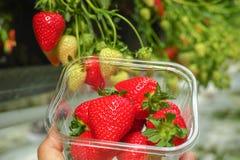 Raccolta della frutta rossa grande matura fresca della fragola nel verde olandese Fotografia Stock