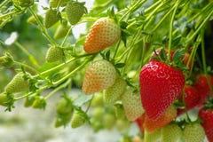 Raccolta della frutta rossa grande matura fresca della fragola nel verde olandese Fotografie Stock