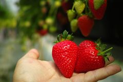 Raccolta della frutta rossa grande matura fresca della fragola nel verde olandese Fotografia Stock Libera da Diritti