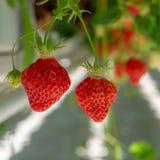 Raccolta della frutta rossa grande matura fresca della fragola nel verde olandese Fotografie Stock Libere da Diritti