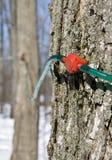 Raccolta della linfa dell'albero di acero Fotografia Stock