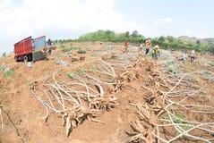 Raccolta della manioca Fotografia Stock Libera da Diritti
