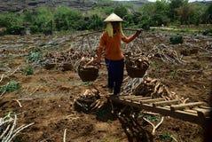 Raccolta della manioca immagine stock