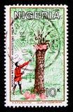 Raccolta della noce di cocco, serie della cultura, della natura e di economia, circa 1986 Fotografia Stock Libera da Diritti