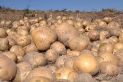 Raccolta della patata fotografie stock