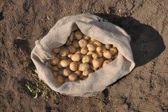 Raccolta della patata immagini stock libere da diritti
