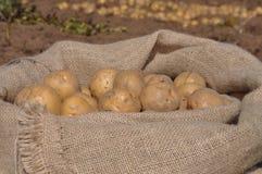 Raccolta della patata Fotografie Stock Libere da Diritti