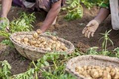 Raccolta della patata - le donne riunisce le patate in Thakurgong, Bangladesh Fotografia Stock