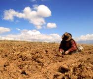 Raccolta della patata nelle Ande Fotografie Stock