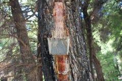 Raccolta della resina del pino, Grecia Immagini Stock Libere da Diritti